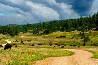 Photo of a Buffalo herd inside of Custer State Park.