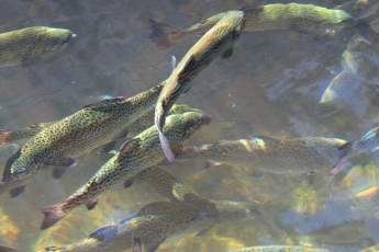 Photo of a school of trout at the DC Booth Historic National Fish Hatchery and Archives.